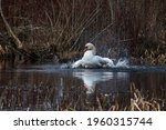 A White Swan Washes In A Park...