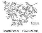 gardenias flower and leaf hand... | Shutterstock .eps vector #1960328401