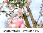 Spring Apple Blossoms  Pink...