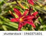 Beautiful Red Daylilies In A...