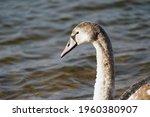 Juvenile Mute Swan   Cygnus...