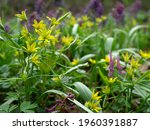 Gagea Lutea  Known As The...