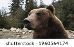 Cute Carpathian Grizzly Sitting ...