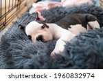 Small photo of Adorable Boston Terrier puppy, lying in a snuggle bed safe inside her crate, looking at the camera.