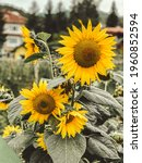 beautiful yellow sunflowers in...   Shutterstock . vector #1960852594