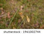 Orange Ringlet Butterfly...