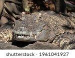 Close Up Crocodile Was...