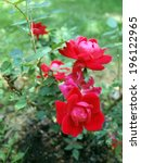 Photo Of Knockout Rose Bush...