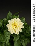 White Dahlia Overhead View With ...