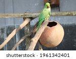 Closeup rose ringed parakeet on ...