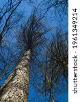 Small photo of Tree trunk and denuded branches against blue sky