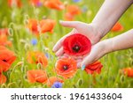 Poppy Field  Cultivation. Poppy ...