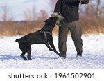 Angry Black Cane Corso Dog With ...