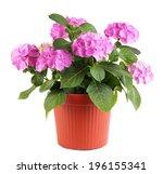 Hydrangea In Flowerpot Isolate...