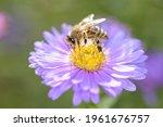 Bee   Apis Mellifera  ...