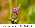Pink Flowers Of Thistle. Close...