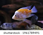 A Young Red Devil Cichlid Is...