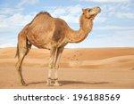 Image Of Camel In Desert Wahib...