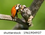 An Asian Lady Beetle Is...