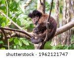 tufted capuchin monkey  sapajus ...   Shutterstock . vector #1962121747