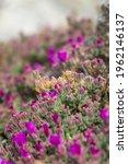 Purple Flowers In Spring Will...