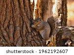 Tree Squirrels.many Juvenile...