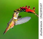 Rufous Hummingbird Feeding At...