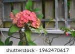 Pink Euphorbia Flowers....