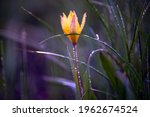 beautiful yellow flower in dew... | Shutterstock . vector #1962674524