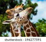 adult giraffes grooming each...   Shutterstock . vector #196277591