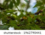 Green Leaves. Detail Of The...