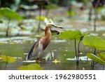 Javan Pond Heron In The Garden...