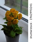 Small photo of Beautiful bright flower of calceolaria in a pot on the window close up