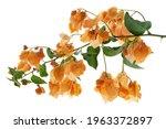 Bougainvillea Flower ...