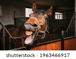 Bay Horse Shows His Teeth In...