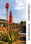 Aloe Plant With Red Flower And...