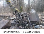Tree Roots Washed Away By The...