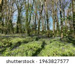 Small photo of Native bluebell wood in Godolphin, Cornwall