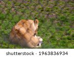 A Young Lioness Lies On The...