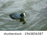 Black Coot Duck Close Up ...