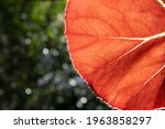 Begonia Leaf In Front Of The...