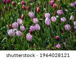 Garden Purple Tulip. The Petals ...