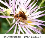 Red Wasp On A Daisy Flower....