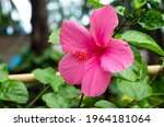 Bright Pink Flower Of Hibiscus  ...