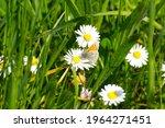 Dusky Meadow Brown Butterfly ...