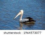 A Majestic Pelican Pelecanidae...