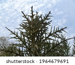 Euphorbia Stenoclada In...