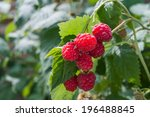 Raspberries Growing On A Plant...
