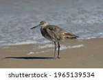 The Willet On The Beach. It Is...