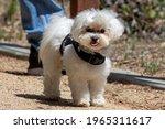 White Puppy Dog Sticking Tongue ...
